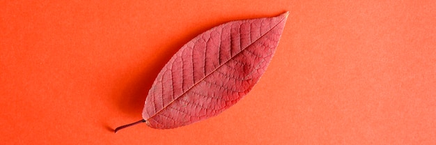 赤い紙の背景の平らな横たわった上に単一の赤い落ちた秋の桜の葉。