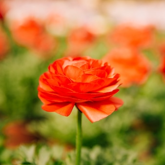 1つの赤いラナンキュラスasiaticusの花