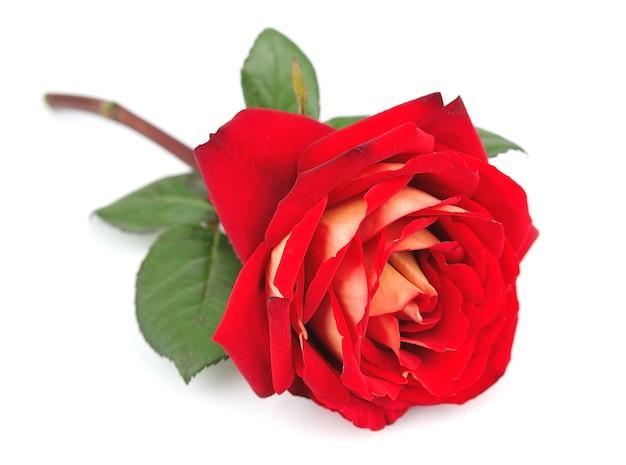 화이트에 단일 빨간 장미