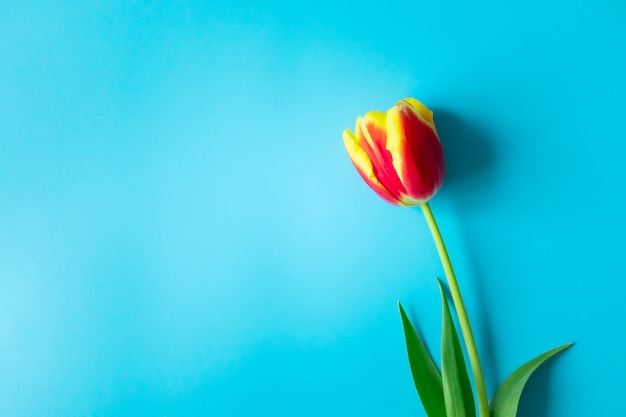 Single red yellow tulip with copy space on vibrant blue wall. concept springtime, top view