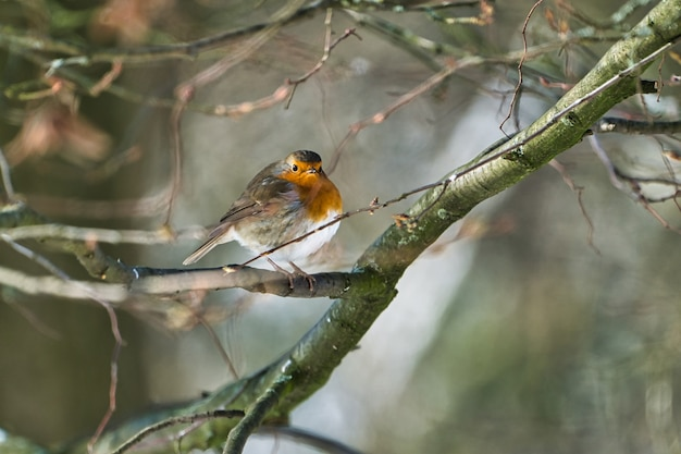 나무에 화창하고 추운 겨울날의 싱글 로빈