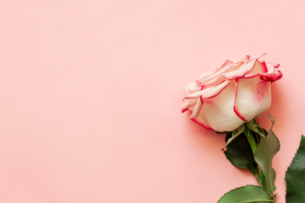 Single rose flower on pink background with place for text