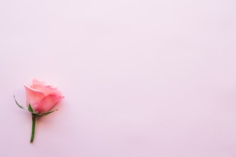 Single rose on pink