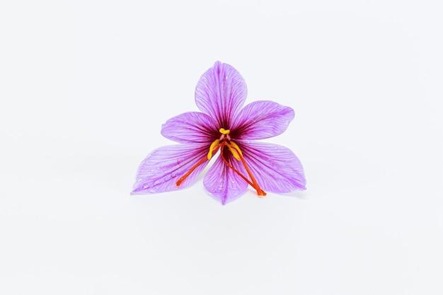 白い背景の上の単一のサフランの花。コピースペース。あなたのテキストのための場所。