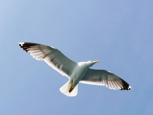Одиночная чайка, летящая в ясном голубом небе