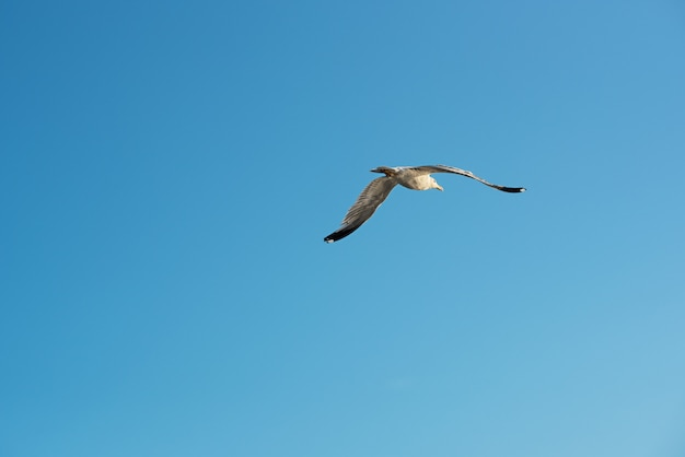 Single seagull flying overhead in a blue sky