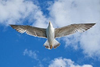 Single seagull flying with spread wings