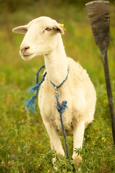 A single sheep tied up in a field