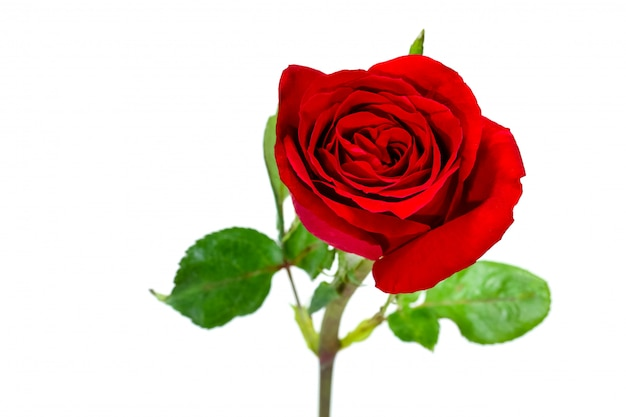 Single simple of red rose, valentine day concept