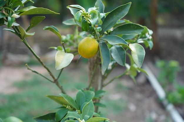 オレンジの木にぶら下がっている単一の小さなオレンジ