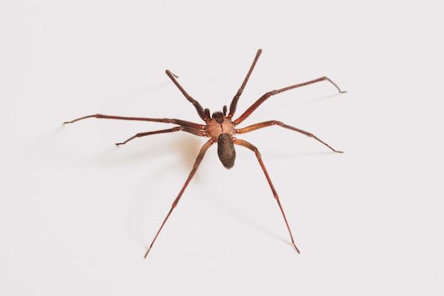 白で隔離される単一のクモ