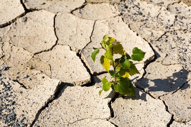 乾燥した土壌の割れ目から砂漠に一本の木が芽生える