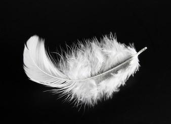 シングル、白、鳥、羽、黒、背景。