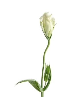 Single white rose eustoma flower