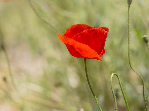 Single wild poppy in a meadow