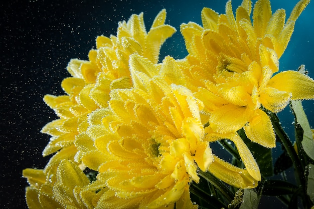 Single yellow chrysanthemum with water droplets isolated on black background.