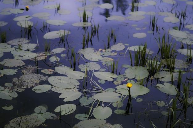 연못에서 자라는 단일 노란색 꽃