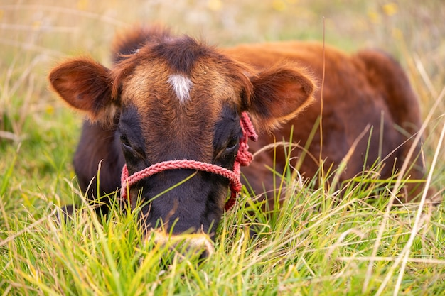 A single young male cow sitting on the grass