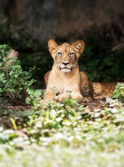 森の中の単一の若い雄ライオン