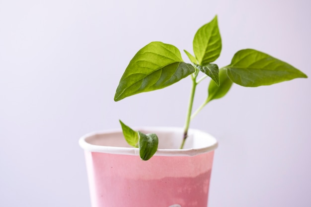 Single young peppers sprout or seedling in a cardboard cup
