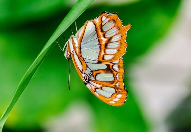 Siproeta stelenes(マラカイト蝶)