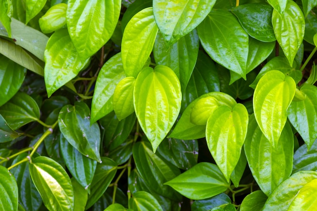 Sirih hijau 또는 green betel(piper betle l.)은 자연 배경을 위해 나뭇잎