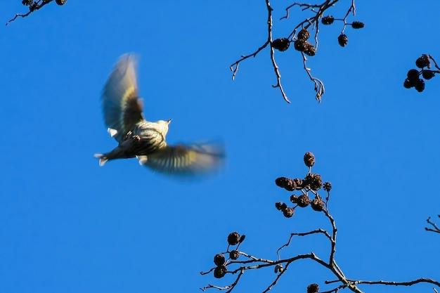 Fowlmere 자연 보호 구역에서 비행 중인 siskin(carduelis spinus)