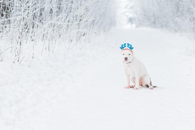 Сидящий американский бульдог сидит в оправе рога оленя в зимнем лесу. творческое рождество. фото высокого качества