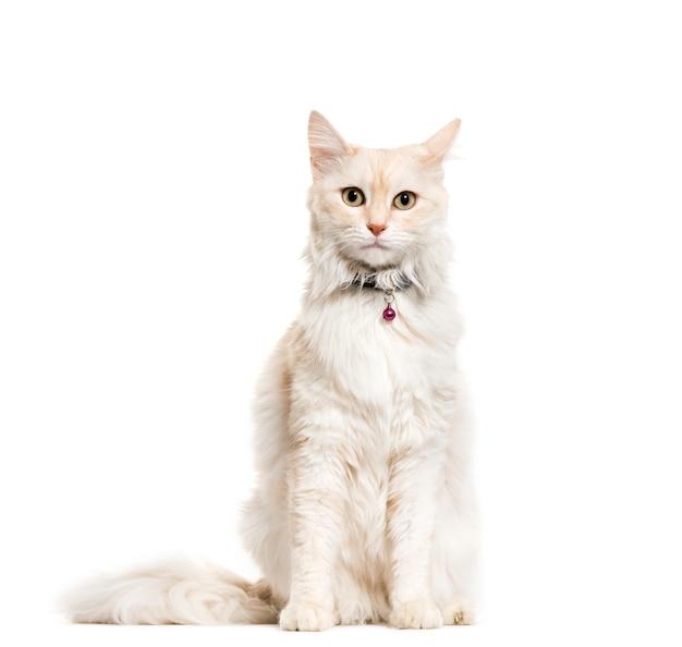 고양이 벨 칼라를 입고 앉아 앙고라 고양이