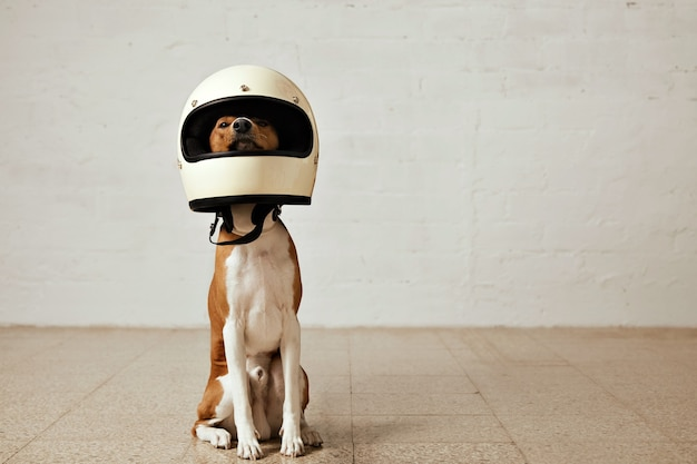 Собака басенджи сидит в огромном белом мотоциклетном шлеме в комнате с белыми стенами и светлым деревянным полом