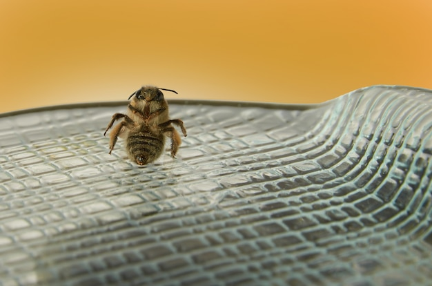 Sitting bee on a glass plate