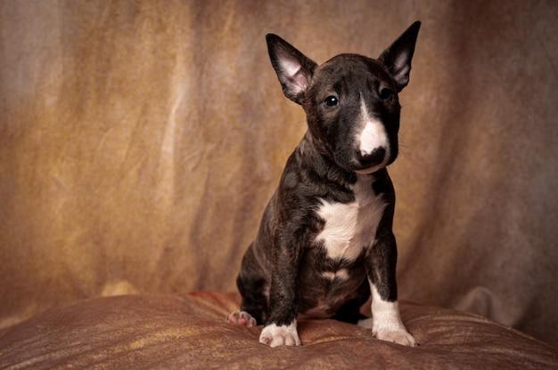 Сидит черный миниатюрный щенок бультерьера