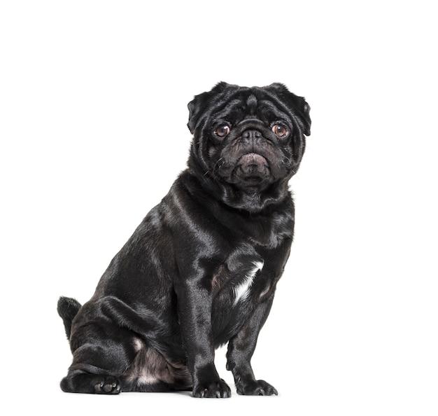 Сидя черный мопс собака смотрит в камеру, изолированные на белом
