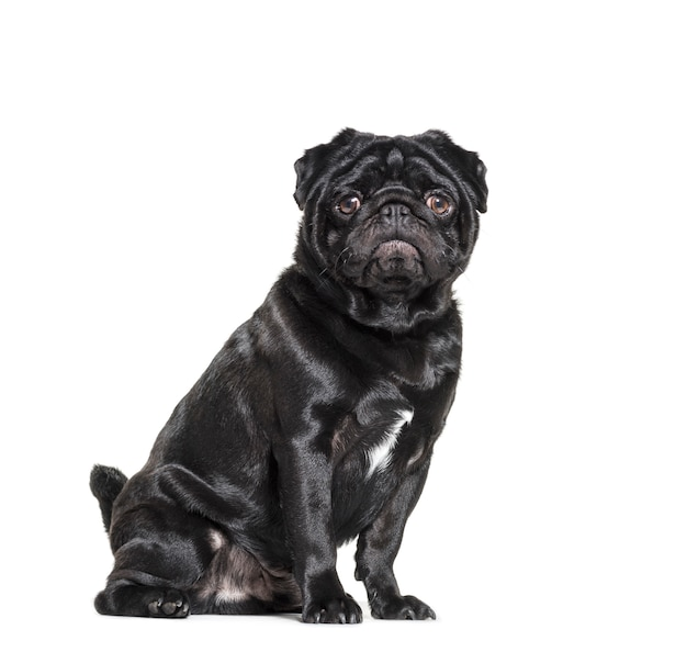 Sitting black pug dog looking at the camera isolated on white
