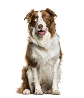 Sitting border collie panting