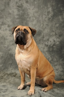 座っている雄牛の犬の肖像画