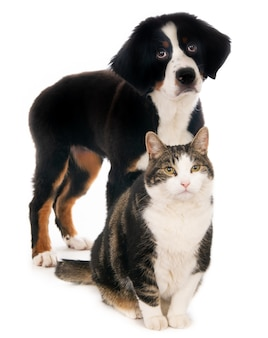 Sitting cat together with a purebred bernese mountain puppy dog on white