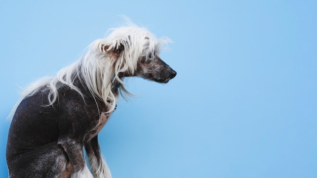 Sitting chinese crested dog with white hairstyle