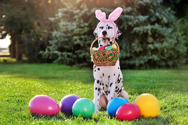 Sitting dalmatian dog holding basket with easter eggs in teeth
