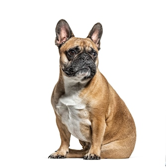Sitting french bulldog looking away, isolated on white