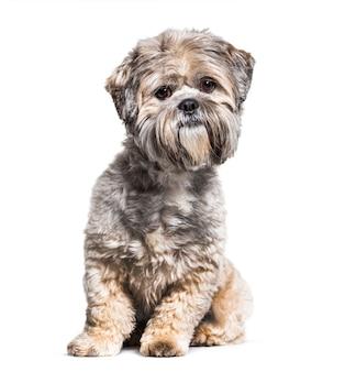 白で隔離の手入れの行き届いたラサアプソ犬に座って