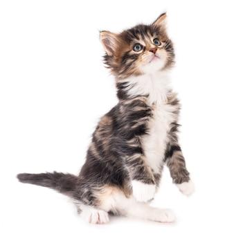Сидящий котенок смотрит вверх. белый фон.