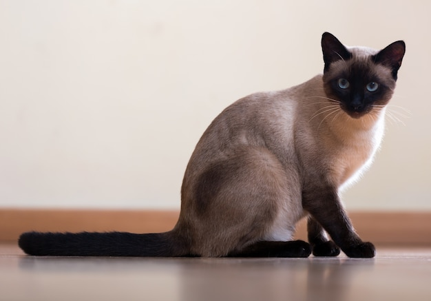 Sitting  and looking siamese cat