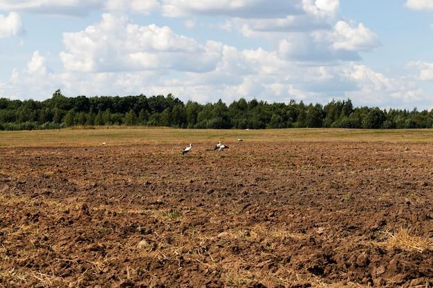 シュバシコウの耕された畑の端に座って、カエルとワームを食べます