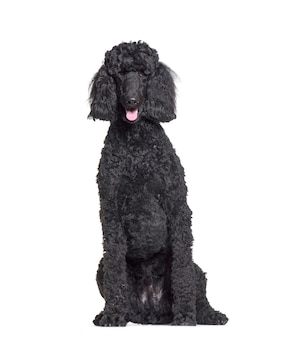 Sitting and panting poodle in front of a white background