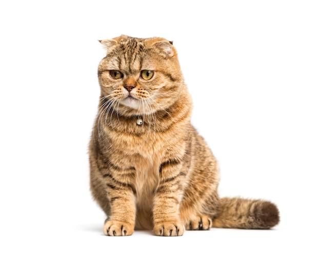 앉아 스코틀랜드 폴드 고양이, 절연