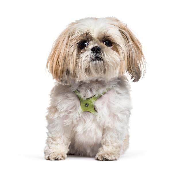 分離したシーズー犬を座っています。