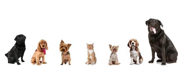 まっすぐ座っています。白いスタジオの背景に分離されたカメラを見ている6匹のかわいい犬と1匹の赤い猫。さまざまな品種のペットのクリエイティブなコラージュ。モダンなデザイン。広告のチラシ、コピースペース。