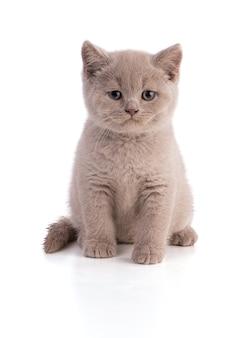 Сидя двухмесячный британский котенок на белом фоне