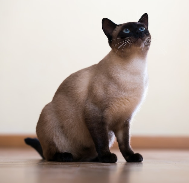 Sitting young adult siamese cat